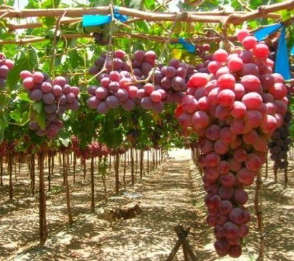 razvedenie-vinograda